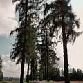 Larch Tree Lined Avenue Heidenreichstein Waldviertel Austria by Menega Sabidussi