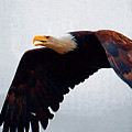 Large Bald Eagle by Clarence Alford