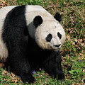Large Black And White Giant Panda Bear Sitting by DejaVu Designs