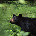Large Black Bear by Andrea Silies