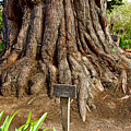 Large Cypress Tree Trunk In Carmel Mission-california  by Ruth Hager