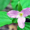 Large Flower Trillium by Alan Lenk