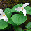 Large Flower Trillium Pair by Alan Lenk