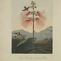 Large Flowering Sensitive Plant by Robert John Thornton