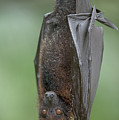 Large Flying Fox Pteropus Vampyrus by Cyril Ruoso