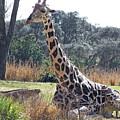 Large Giraffe by Carol  Bradley