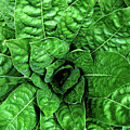 Large Green Display Of Concentric Leaves by Hrabina Krystyna
