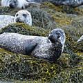 Large Harbor Seal Colony In Scotland by DejaVu Designs