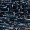 Large Herd Of Black Angus Cattle by Todd Klassy