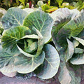 Large Leaves Of A Cabbage Plant by Ashish Agarwal