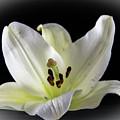 Large Lily-1 by Jennifer Wick
