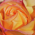 Large Peace Rose Center 006 by Shirley Heyn