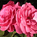 Large Pink Roses by Carol Groenen