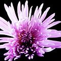 Large Purple Chrysanthemum-1 by Jennifer Wick
