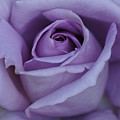 Large Purple Rose Center - 002 by Shirley Heyn