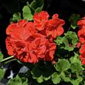 Large Red Begonia Bloom by Kae Cheatham