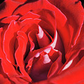 Large Red Rose Center - 003 by Shirley Heyn