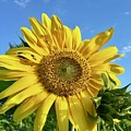 Large Sunflower by Brian Eberly