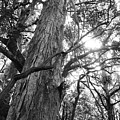 Large Tree by Les Cunliffe