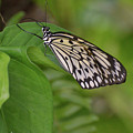 Large White Tree Nymph Butterfly On Green Foliage by DejaVu Designs