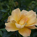 Large Yellow Rose II by Jacqueline Russell