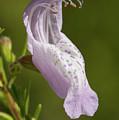 Largeflower False Rosemary #2 by Paul Rebmann