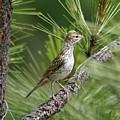 Lark Sparrow by Ben Upham III