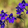 Larkspur In The Meadow by Robert Potts
