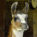Larry The Lama by Wayne Baer