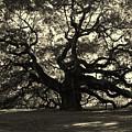 Last Angel Oak 72 by Susanne Van Hulst