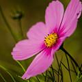Last Flower by Linda  Howes