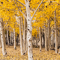 Last Of The Aspen Leaves by Laurel McFarland