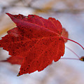 Last Of The Leaves Nature Photograph by Melissa Fague