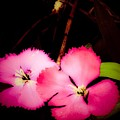 Last Of The Pink Dianthus Flowers by Debra Lynch