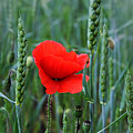 Last Poppy by Jutta Maria Pusl