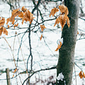 Last Snowy Leaves by Pati Photography