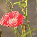 Late Beauty Between Thorns by AugenWerk Susann Serfezi