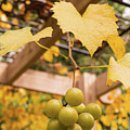Late Muscadine Grapes With Autumn Foliage by MM Anderson