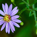 Late Purple Aster by Steve Harrington
