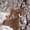 Late Winter Big Horns by Greg Payne