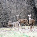 Late Winter Whitetails by Lew Wescott
