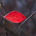 Lateral Red Leaf by Douglas Barnett