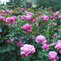 Laugerfeld Roses by Linda Sramek