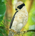 Laughing Falcon Costa Rica by Joan Carroll