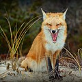 Laughing Fox by Paul Ward