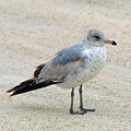 Laughing Gull by Allan  Hughes