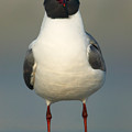 Laughing Gull by Clarence Holmes