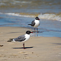 Laughing Gulls On The Beach by Royal Tyler