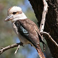 Laughing Kookaburra A by Tony Brown
