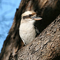 Laughing Kookaburra  by Tony Brown